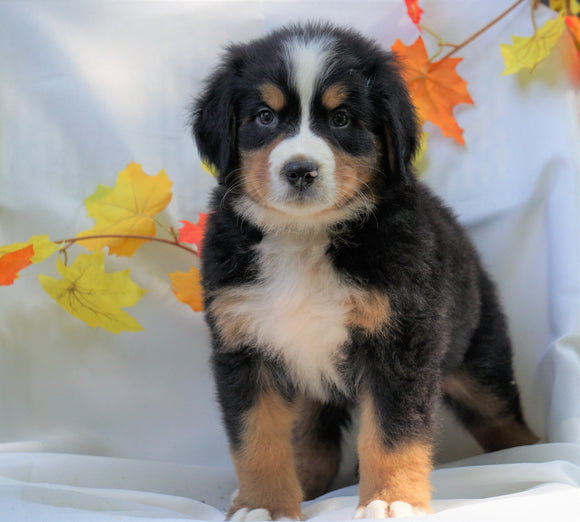 AKC Registered Bernese Mountain Dog For Sale Millersburg, OH Male - Chase