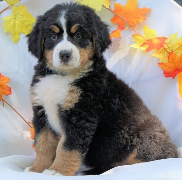 AKC Registered Bernese Mountain Dog For Sale Millersburg, OH Female - Callie
