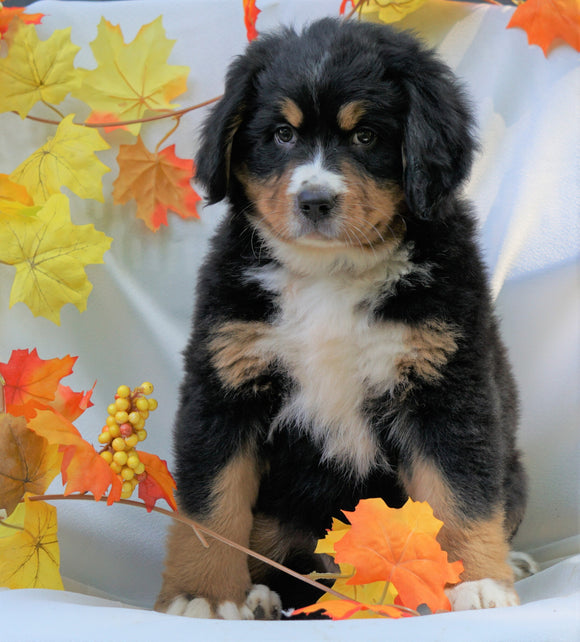 AKC Registered Bernese Mountain Dog For Sale Millersburg, OH Female - Chloe