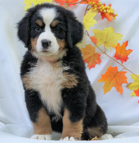 AKC Registered Bernese Mountain Dog For Sale Millersburg, OH Female - Cammi