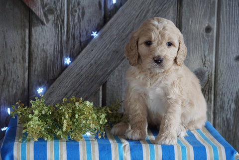 Mini F1B Labradoodle For Sale Millersburg, OH Male- Dudley