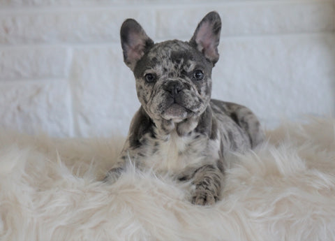 French Bulldog For Sale Dundee, OH Female- Autumn Bleu De-lite