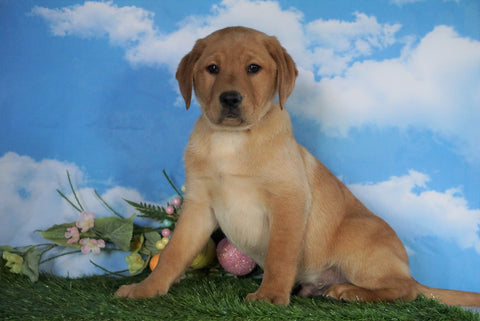 AKC Registered Labrador Retriever (Fox Red) For Sale Sugarcreek, OH Male - Redford