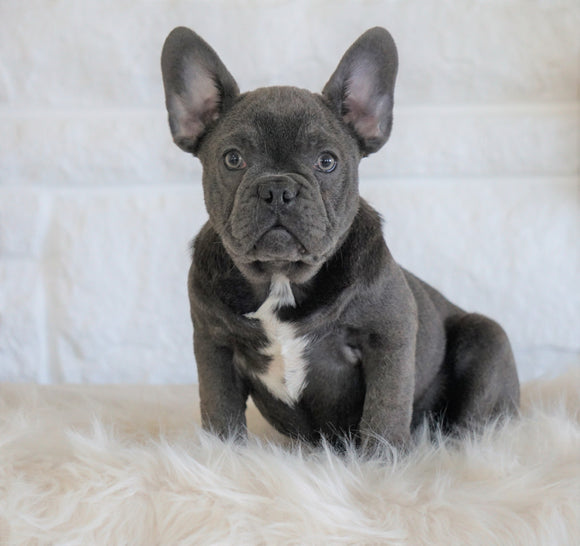 French Bulldog For Sale Dundee, OH Male- Badger Bleu