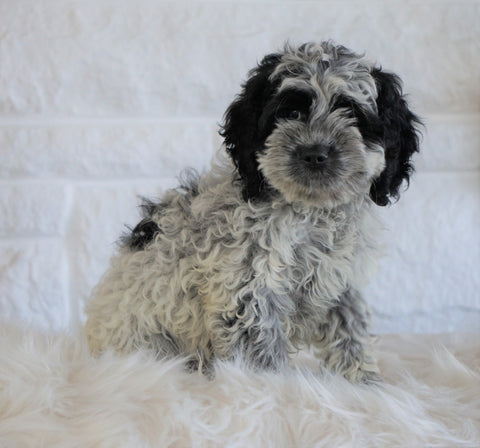 Cockapoo For Sale Dundee OH, Male - Hunter