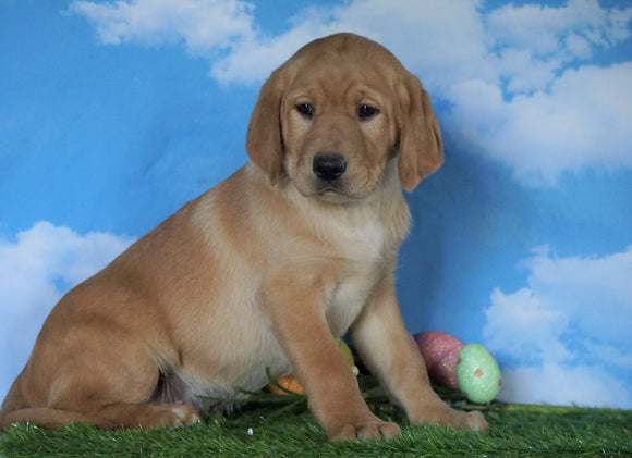 AKC Registered Labrador Retriever (Fox Red) For Sale Sugarcreek, OH Male - Wilson