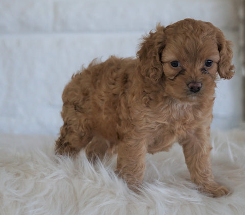 Cockapoo For Sale Dundee, OH Male- Bj