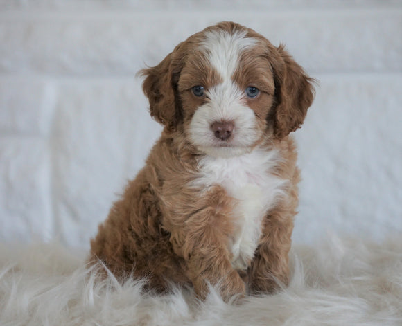 Cockapoo For Sale Dundee, OH Male- Boston