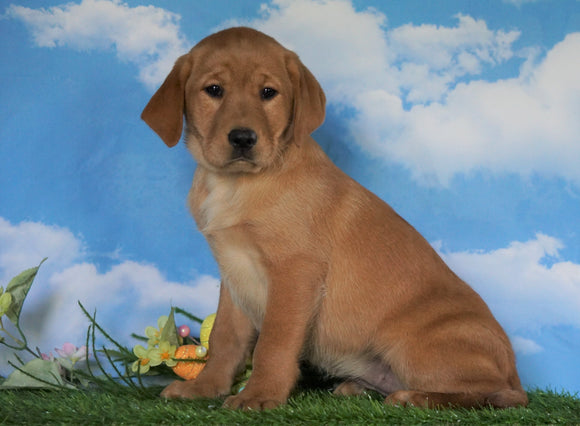 AKC Registered Labrador Retriever (Fox Red) For Sale Sugarcreek, OH Female - Cassidy