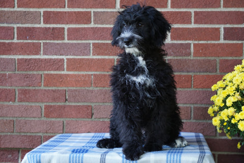 Mini Bernedoodle For Sale Applecreek, OH Male - Cole