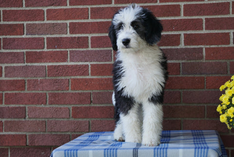 Mini Bernedoodle For Sale Applecreek, OH Male - Cody