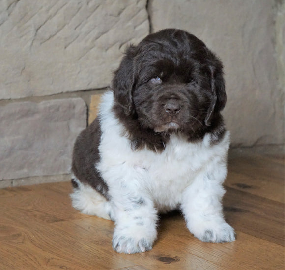 AKC Registered Newfoundland For Sale Dalton , OH Male - Boomer