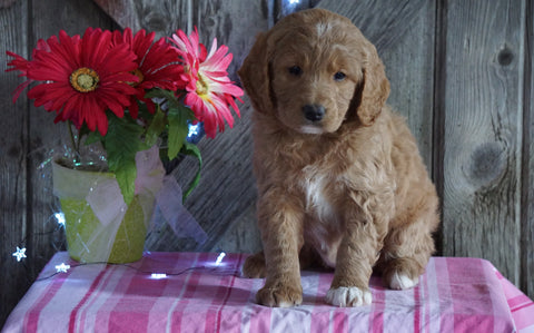 Mini F1B Labradoodle For Sale Millersburg, OH Female- Dolly