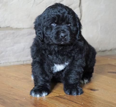 AKC Registered Newfoundland For Sale Dalton, OH Male - Buster