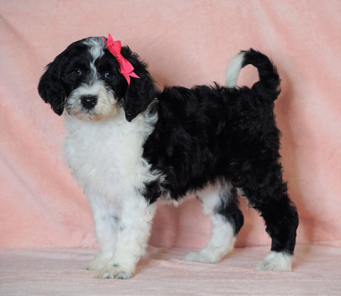 F1B Sheepadoodle For Sale Baltic, OH Female- Dori -CHECK OUT OUR VIDEO-