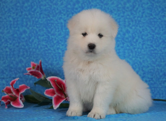 Samoyed For Sale Fredericksburg, OH Male- Snowball