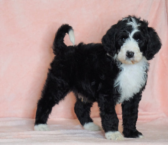 F1B Sheepadoodle For Sale Baltic, OH Male- Bruno -CHECK OUT OUR VIDEO-