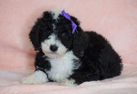 F1B Sheepadoodle For Sale Baltic, OH Female- Minnie -CHECK OUT OUR VIDEO-