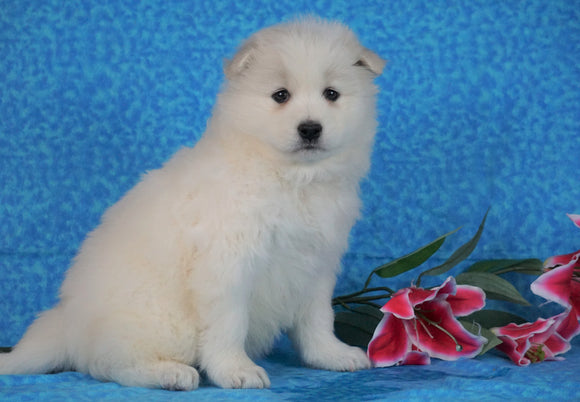 Samoyed For Sale Fredericksburg, OH Female- Misty
