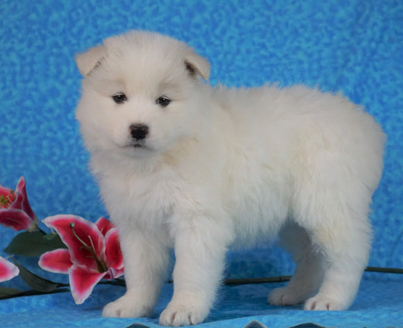 Samoyed For Sale Fredericksburg, OH Female-  Daisy