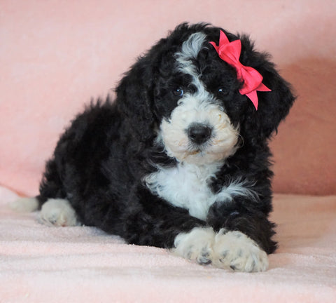 F1B Sheepadoodle For Sale Baltic, OH Female- Queen -CHECK OUT OUR VIDEO-