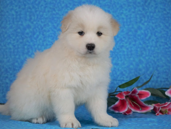 Samoyed For Sale Fredericksburg, OH Female- Lilly