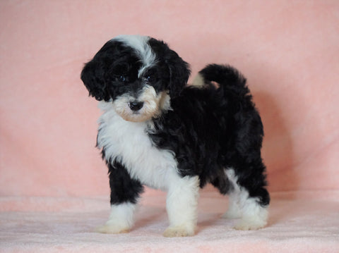 F1B Sheepadoodle For Sale Baltic, OH Female- Annie -CHECK OUT OUR VIDEO-