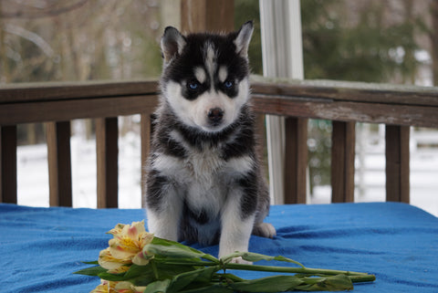 AKC Registered Siberian Husky For Sale Holmesville, OH Male- Juneau