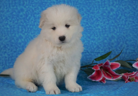 Samoyed For Sale Fredericksburg, OH Female- Judy