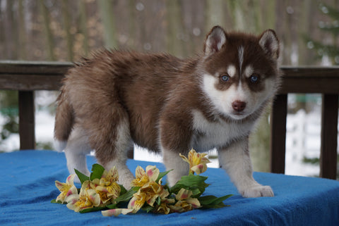 AKC Registered Siberian Husky For Sale Holmesville, OH Female- Luna