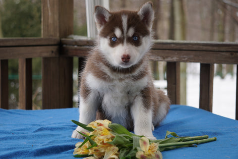 AKC Registered Siberian Hsuky For Sale Holmesville, OH Female- Athena
