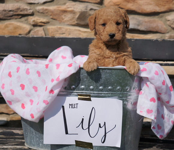 F2 Mini Goldendoodle For Sale Sugarcreek, OH Female - Lily