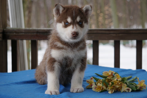 AKC Registered Siberian Husky For Sale Holmesville, OH Male- Asher