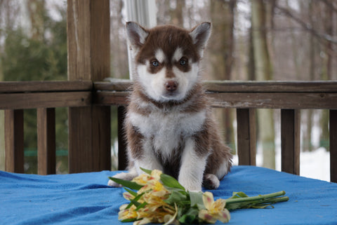 AKC Registered Siberian Husky For Sale Holmesville, OH Male- Apollo