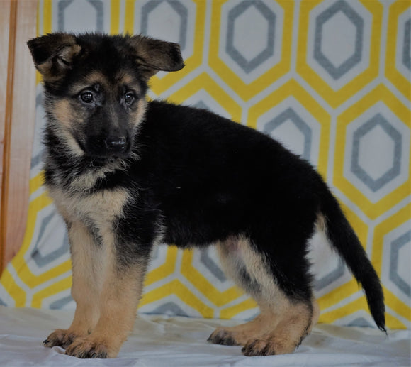 AKC Registered German Shepherd For Sale Millersburg, OH Female- Samantha