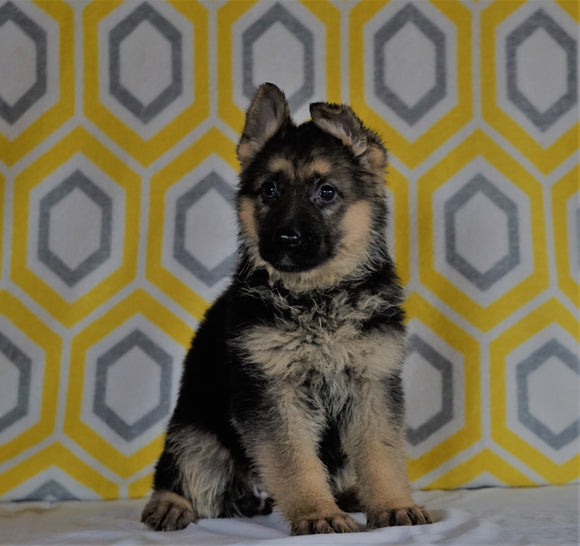 AKC Registered German Shepherd For Sale Millersburg, OH Female- Midnite