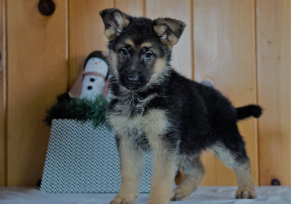 AKC Registered German Shepherd For Sale Millersburg, OH Female- Rosie
