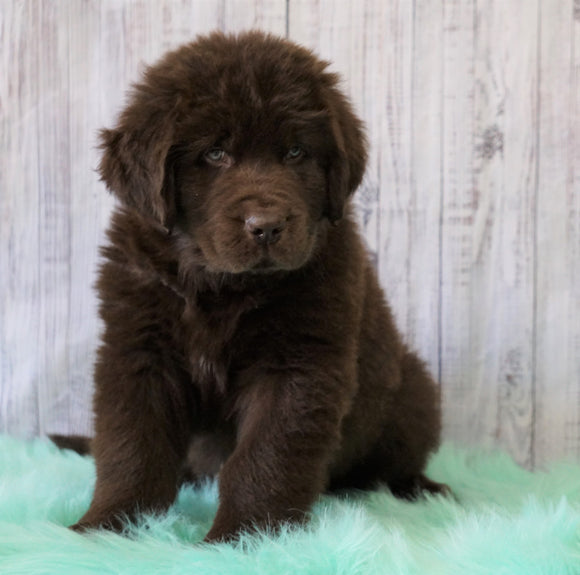 AKC Newfoundland For Sale Holmesville, OH Male - Brutus