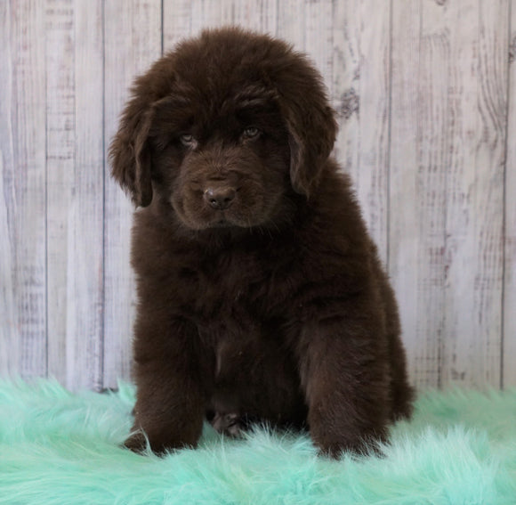 AKC Newfoundland For Sale Holmesville, OH Male - Sarge