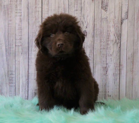 AKC Newfoundland For Sale Holmesville, OH Male - Bobo