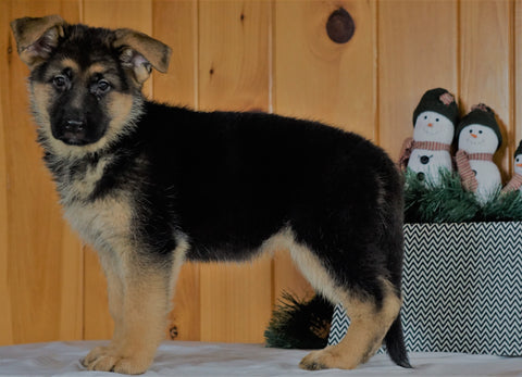 AKC Registered German Shepherd For Sale Millersburg, OH Female- Hailey