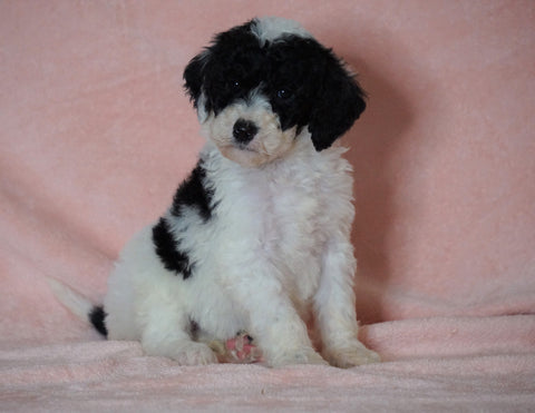 F1B Sheepadoodle For Sale Baltic, OH Female-Lily -CHECK OUT OUR VIDEO-