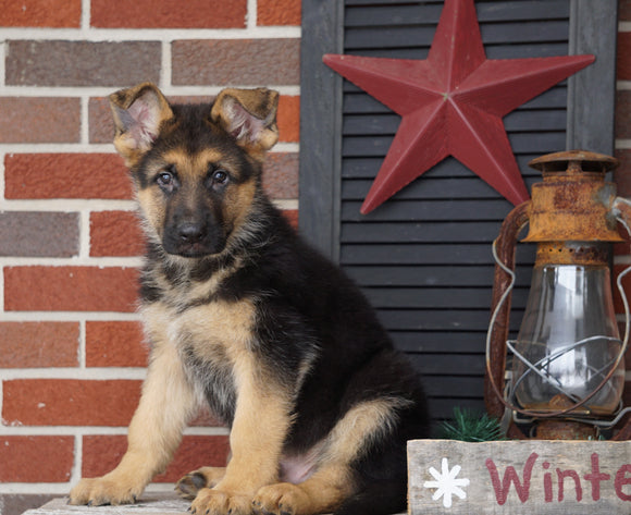 AKC Registered German Shepherd For Sale Millersburg, OH Male- Rex