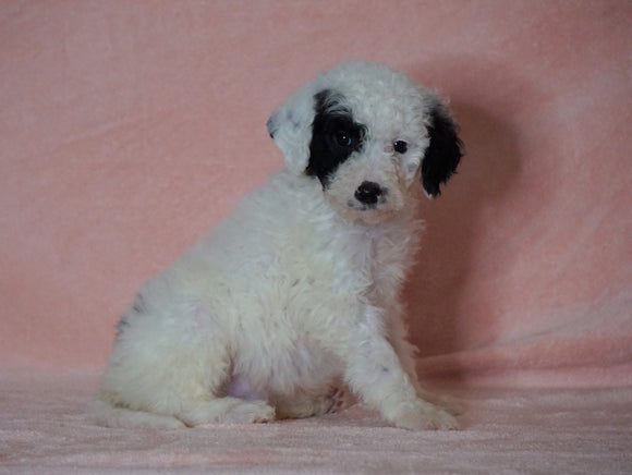 F1B Sheepadoodle For Sale Baltic, OH Male- Thomas