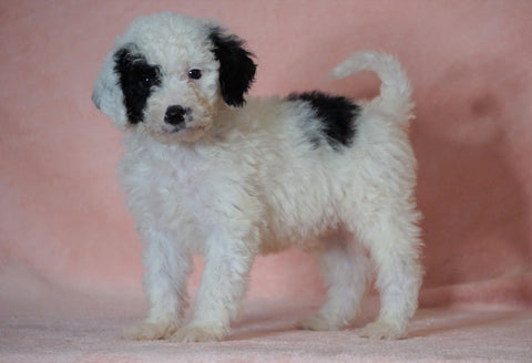 F1B Sheepadoodle For Sale Baltic, OH Male- Thomas -CHECK OUT OUR VIDEO-