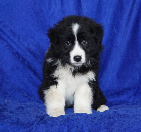 Australian Shepherd For Sale Millersburg, OH Male- Delmar