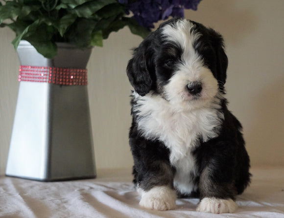 Bernedoodle For Sale Sugarcreek, OH Male- Marshall