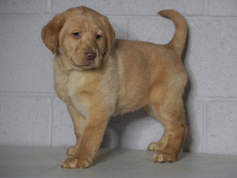 AKC Registered Labrador Retriever (Fox Red) For Sale Sugarcreek, OH Female- Scarlet