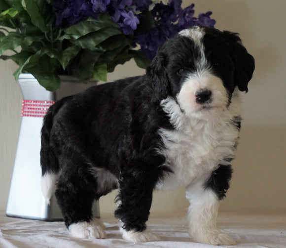 Bernedoodle For Sale Sugarcreek, OH Male- Rubble