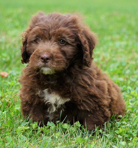 Mini Newfypoo For Sale Holmesville, OH Male - Ricky